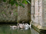 The swans of Wells ringing the bell for their food. The signets learn from their parents keeping this long tradition going.