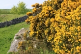 Near Charterhouse on the Mendips the Gorse bushes are out in full bloom. This picture was taken in May.