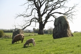 Grazing sheep amongst the stone circles.