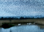 Starlings and swan at Shapwick Heath.