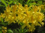 One of the many flowering plants seen during May. This is a colourful yellow flowering rhododendron.