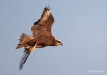 Marsh Harrier - female