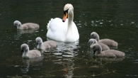 Swan on the moat with cygnets