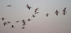 Cranes in Flight © John Crispin