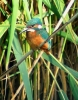 Kingfishers live in the along the banks of the many rivers and ditches on the Levels.