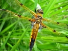 Four Spotted Chaser. Image © John Crispin